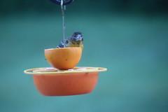 Even More Orioles Enjoying Grape Jelly  in the Backyard June 2018 (Saline Michigan) (cseeman) Tags: birds saline michigan orioles feeder oriolefeeder orange orioles062018 jelly orioleslovejelly oranges rainy wet