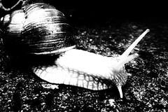 Slowly. (marfis75) Tags: schnell speed tempo schneckenhaus schneckentempo haus auge augen fühler marfis75 bw cc creativecommons weinbergschnecke schleichen schleichend langsamer langsam slow slowly schnecke schwarzweis