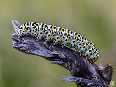 Inquieta (JoseQ.) Tags: macro macrofotografia bicho insecto animal oruga gusano colores rama arbol hierba campo airelibre primavera