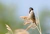 Reed Bunting (Corine Bliek) Tags: emberizaschoeniclus riet reeds vogel vogels bird birds natuur nature wildlife emberizidae reedbeds wetlands animal rietzangers