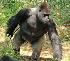 western lowlandgorilla BaoBao Apenheul BB2A9757 (j.a.kok) Tags: gorilla westelijkelaaglandgorilla westernlowlandgorilla lowlandgorilla laaglandgorilla animal africa afrika aap ape apenheul mammal monkey mensaap primate primaat zoogdier dier baobao paupau
