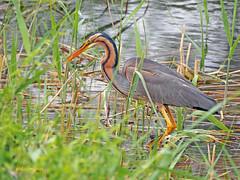 Garza imperial (Ardea  purpurea) (81) (eb3alfmiguel) Tags: aves acuaticas ciconiiformes ardeidae de garza imperial ardea purpurea pájaros hierba pájaro animal agua