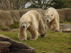 IJsberen Olinka en Todz. (Loekje19) Tags: ijsberen olinka todz
