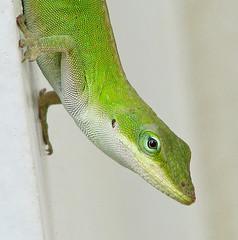 Green anole - on the hunt (Vicki's Nature) Tags: greenanole green eye texture female lizard reptile garage house yard georgia vickisnature canon s5 5103 portrait upsidedown returnheart returndamn returnsunshine