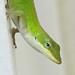 Green anole - on the hunt ... Vicki DeLoach