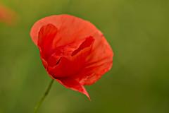 Poppy (pstenzel71) Tags: blumen natur pflanzen flower darktable bokeh spring poppy mohn mohnblume mohnblüte papaver