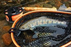 Yamame DSC_4239 (touhenboku) Tags: fly flyfishing yamame stream river fishing