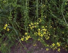 Bunias orientalis (Warty Cabbage), habit 2, Ashfield Chalk Pit, Essendon, Herts, 11.6.18 (respect_all_plants) Tags: wartycabbage buniasorientalis ashfield essendon littleberkhamsted herts hertfordshire wildflowers
