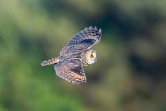Long Eared Owl (Simon Stobart - Back But Way Behind) Tags: long eared owl leo asio otus flying north east england uk coth5 naturethroughthelens ngc npc