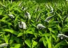 IMG_3554-copywb (PuraVida Photo) Tags: flowers iphone iphonephoto iphonephotography