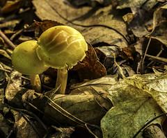 Mushroom (will139) Tags: mushroom ingredient forest seasonal wild nature closeup macro organic plant leaves toadstool spore fungus