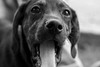 Yawn (N. Eisengrein Photography) Tags: neisengreinphoto nature animal animals dog puppy blackandwhite bw yawn closeup pet pets sharp contrast