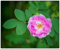 Mitakon Nannestadrose #2 (Krogen) Tags: norge norway norwegen akershus romerike ullensaker jessheim krogen blomster flowers nannestadrose mitakonspeedmaster f095 panasoniclumixgx7