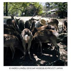 Hasselblad Project | JAPAN (Andrea Lanzilli) Tags: hasselblad hasselblad500cm zeissplanar80mmf28 andrealanzilli japan trip film analogue photography kodak ektar 100 120 nara