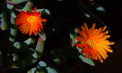 Ice plant flowers (fhemaz) Tags: flower succulent iceplant