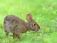 2018-06-15 P1311566 Marshall (Tara Tanaka Digiscoped Photography) Tags: rabbit bunny marshrabbit swim wildlife animal fur ears