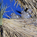 White winged dove mom and chicks thumbnail