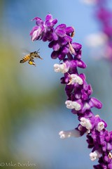Bee Sage in flight small (borders92109) Tags: 55210 6000 a6000 sony socal california sandiego backyard garden sage honeybee bee