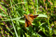 VM12 Large Skipper S2 - John French (John French 108) Tags: butterfly heathland grass heather newforest insect lepidoptera nature wildlife skipper