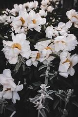 (Rebecca Skye Watson) Tags: flowers peony june summerevenings beauty