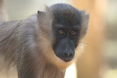 Drill (charliejb) Tags: drill primate monkey 2018 wildlife conservation fur furry furred eyes nose bristol bristolzoo bristolzoogardens mammal