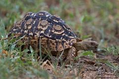 Leopard Tortoise (leendert3) Tags: leonmolenaar southafrica krugernationalpark wildlife nature reptiles leopardtortoise ngc npc