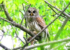barred owl with eastern chipmunk at  Lake Meyer Park IA 854A4288 (lreis_naturalist) Tags: barred owl with eastern chipmunk lake meyer park winneshiek county iowa larry reis