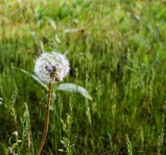 dandelion wish (MariaMargy) Tags: grass flower dandelion field nature nikon outdoors outside wish alliston ontario canada