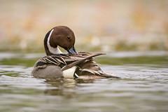 Preening Pintail.. (DTT67) Tags: pintailduck pintail duck drake waterfowl bird wildlife nature nationalgeographic maryland canon 1dxmkii 500mmii preening