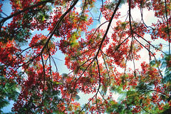 夏天的顏色 (M.K. Design) Tags: taiwan summer sunshine primelens nikon sigma 50mm f14 art bokeh 105mmf14e tele nature flowers red 台灣 鳳凰花 夏天 陽光 紅 尼康 自然 風景 微距 micro 定焦 壓縮感 淺景深 散景 適馬