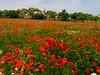 Mohnblumenfeld  -  Poppy field (achim-51) Tags: mohnblumen mohnblumenfeld poppy panasonic lumix poppyfield dmcg5 natur landschaft landscape wiese himmel wolken