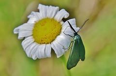 Ampfer-Grünwidderchen (Adscita statices) (Hugo von Schreck) Tags: hugovonschreck ampfergrünwidderchen adscitastatices macro makro insect insekt moth canoneos5dsr tamron28300mmf3563divcpzda010