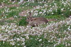 Skomer Island-13 (DoctorTimbo) Tags: skomer skomerisland canon400mmf28ii canon1dx bird rabbit seacampion wales