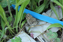 Tree Frog (Jaden boniface) Tags: tree frog frogs garden