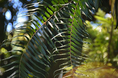 fern fronds (heartinhawaii) Tags: ferns fern tropical tropicalplant hawaiitropicalbotanicalgarden nationalbotanicalgarden onomeabay hawaii hamakuacoast bigisland nature nikond3300