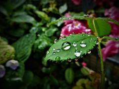 Raindrops (Jeong Kab Cheol) Tags: rain drop drops nikon nature flower plants 비 빗방울 식물 자연 macromademoiselle