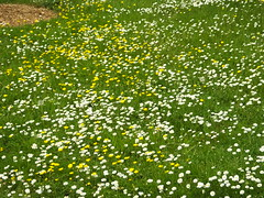 Daisies Are Our Silver (Cornishcarolin. Stupid busy!! xx) Tags: cornwall httpswwwnationaltrustorguktrelissick flowers daisies buttercups grass nature wildlawn