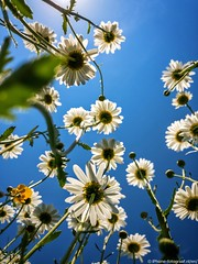 Daisies (iPhone Fotograaf) Tags: flower sun iphone8plus groningen dutch daisies
