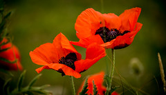 Poppies on Wasteland (jaygamal) Tags: poppies oriental orange red summer poppy remembrance wasteland