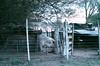Pig (regojoagustina) Tags: campo diadecampo la pampa chancho pig cow vaca crepúsculo atardecer girl littlegirl field pentax k1000 pentaxk1000 film filmisnotdead 35mm pelicula vintage