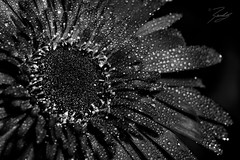 Dark Daisy (Randy • R) Tags: 60mm bokeh botany color dn ilce6000 nc northcarolina randall sony spring summer us usa unitedstates a6000 background beautiful beauty black bloom blooming blossom botanical bright close closeup colorful colors daisy dark decoration delicate detail drop drops flora floral flower flowerhead fresh garden gardening gerbera isolated macro natural nature one petal plant plants pretty red royal season sigma single textile water winstonsalem