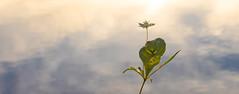 I love simplicity (evakongshavn) Tags: flower flora treasures tinytreasuresinflora tinytreasures flowers wildflowers skogstjerne arcticstarflower macro macroshot macrounlimited makro makroaufnahmen makroshot closeup light blahblahscape