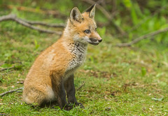 IMGL1320 Pugwash Red Fox Kit(s) (Wallace River) Tags: foxes novascotia pugwashfoxes redfoxes