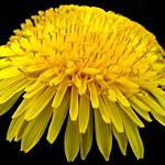 Curly Dandelion - Pissenlit bouclés thumbnail
