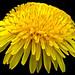 Curly Dandelion - Pissenlit bouclés