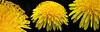 Curly Dandelion - Pissenlit bouclés (monteregina) Tags: triptych québec canada ca pissenlit dandelion taraxacumofficinalis printemps fleurs flowers macro pétales petals fleurssauvages wildflowers monteregina tinysteamen composées löwenzahn plantea closeup dentdelion dientedeleón flowerhead rayflowers seeds mauvaisesherbes stamens curlypetals frühling pollen onblack spring fillframe herbes weeds jaune yellow gelb boucles curls centre center coeur heart nature natur textures patterns formes shapes abstractions natural designs détails details étamines fleurons florets lionstooth rayflorets composite astéracées curlyanthers bouclées yellowpistils pistilsjaune löwenzahnblüte wildblume gewöhnlicherlöwenzahn