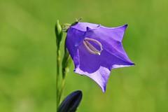 Pfirsichblättrige Glockenblume (Campanula persicifolia) (Hugo von Schreck) Tags: hugovonschreck flower blume macro blüte makro canoneos5dsr tamron28300mmf3563divcpzda010