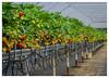 "Strawberry ""fields"" forever ... :-) (frankmh) Tags: berry strawberry greenhouse höganäs skåne sweden"