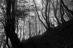 Erraldoi artean (joxelu.) Tags: nafarroa navarra niebla bosque bn basquecountry baztan basoa aritzakun euskalherria