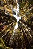 Majestic (Jedediah Smith Redwoods State Park) (campmusa) Tags: redwood forest oldgrowthforests jedediahsmithredwoodsstateparks nationalpark statepark trees humboldtcounty california oldgrowthtemperaterainforests californiacoast